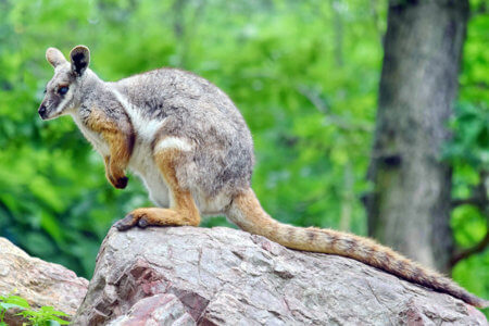 A  yellow-footed rock-wallaby sits on a rock.