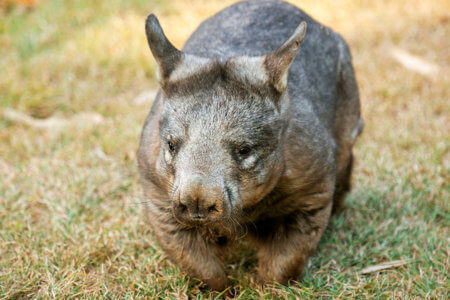 Southern hairy-nosed wombat sits on grass.