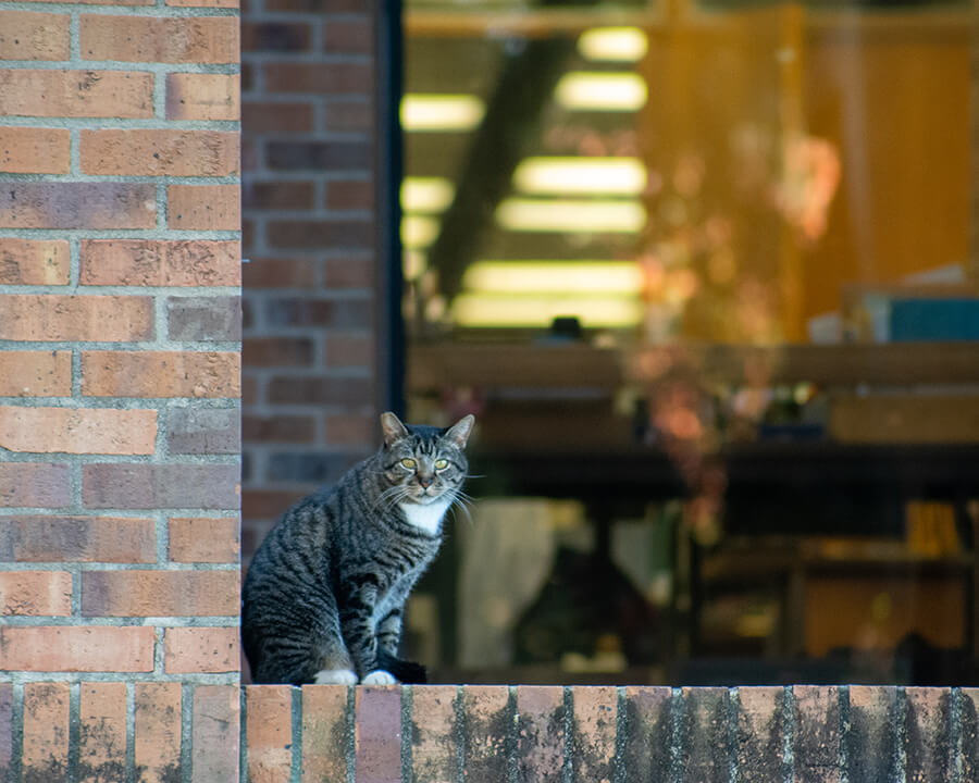striped black and grey cat stands outside library
