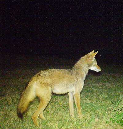 Image of a coyote captured by Melissa Karlin featured